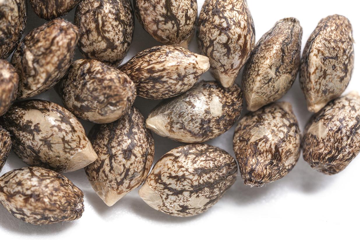 TKO Reserve Hemp Seeds